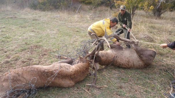 Tellere takılan 2 geyikten biri telef oldu
